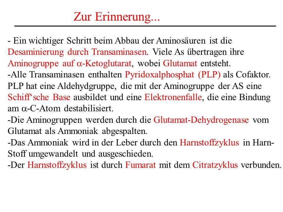 Zur Erinnerung... - Ein wichtiger Schritt beim Abbau der Aminosäuren ist die Desaminierung durch Transaminasen. Viele As übertragen ihre Aminogruppe a