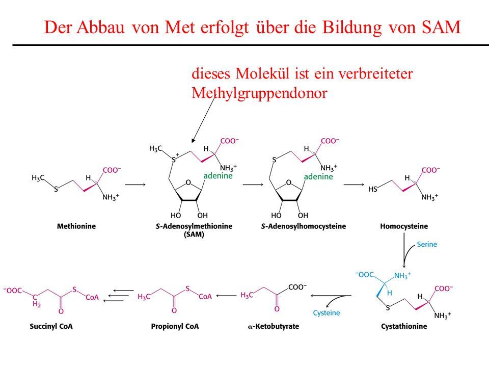 Der Abbau von Met erfolgt über die Bildung von SAM dieses Molekül ist ein verbreiteter Methylgruppendonor