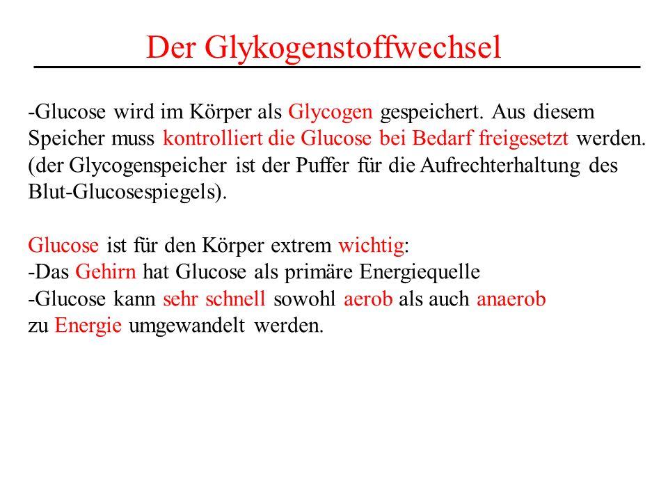 Der Glykogenstoffwechsel -Glucose wird im Körper als Glycogen gespeichert. Aus diesem Speicher muss kontrolliert die Glucose bei Bedarf freigesetzt we