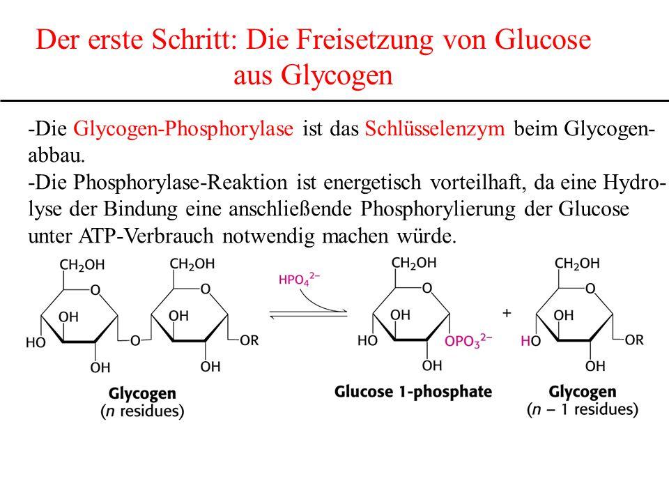 Der erste Schritt: Die Freisetzung von Glucose aus Glycogen -Die Glycogen-Phosphorylase ist das Schlüsselenzym beim Glycogen- abbau. -Die Phosphorylas