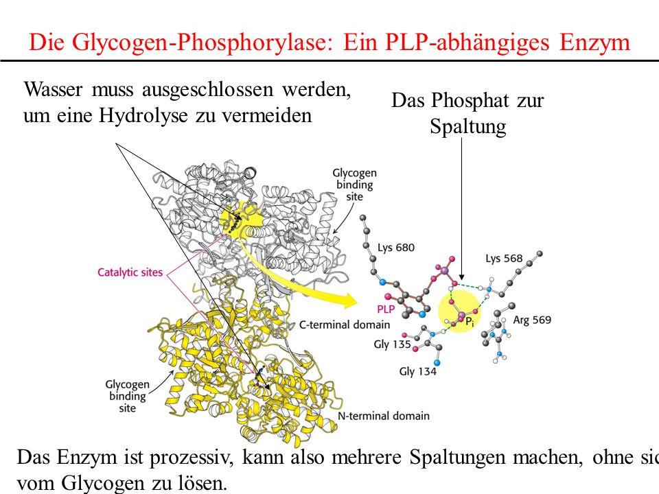 Die Glycogen-Phosphorylase: Ein PLP-abhängiges Enzym Das Phosphat zur Spaltung Wasser muss ausgeschlossen werden, um eine Hydrolyse zu vermeiden Das E