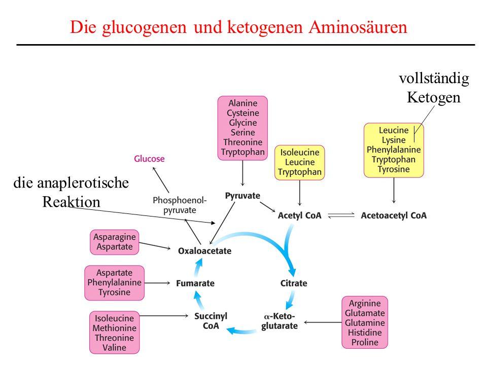 vollständig Ketogen Die glucogenen und ketogenen Aminosäuren die anaplerotische Reaktion