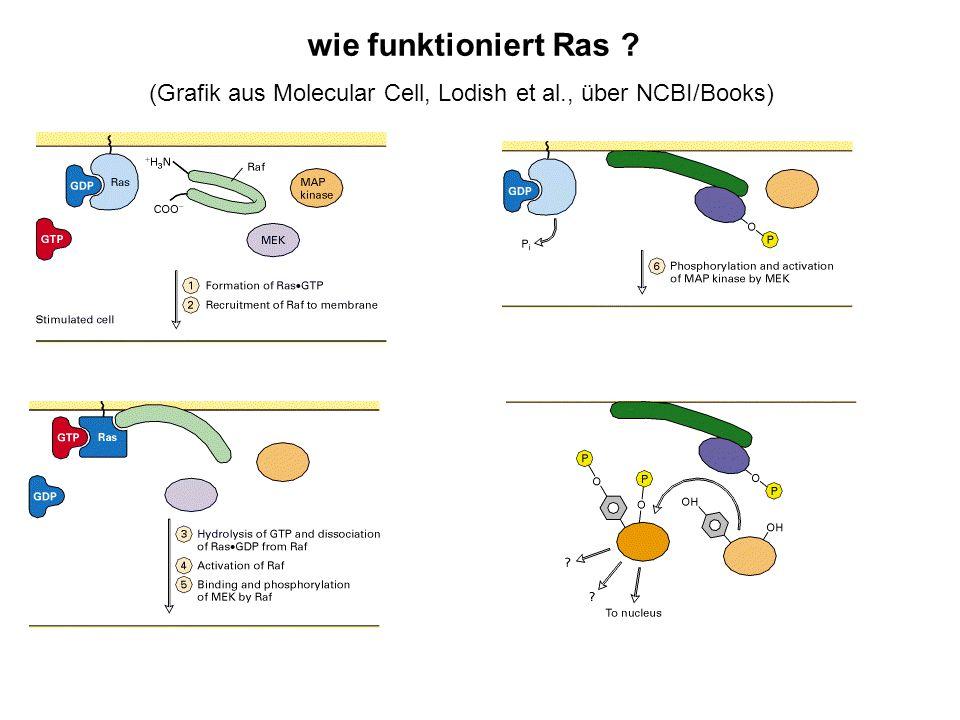 wie funktioniert Ras ? (Grafik aus Molecular Cell, Lodish et al., über NCBI/Books)