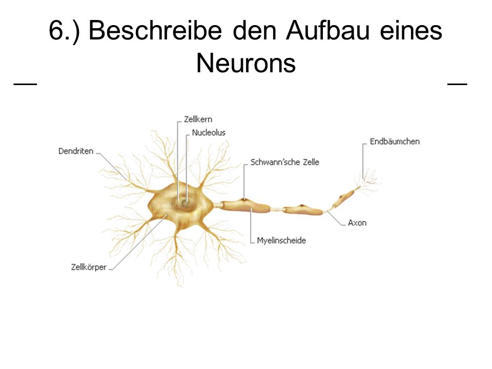 6.) Beschreibe den Aufbau eines Neurons