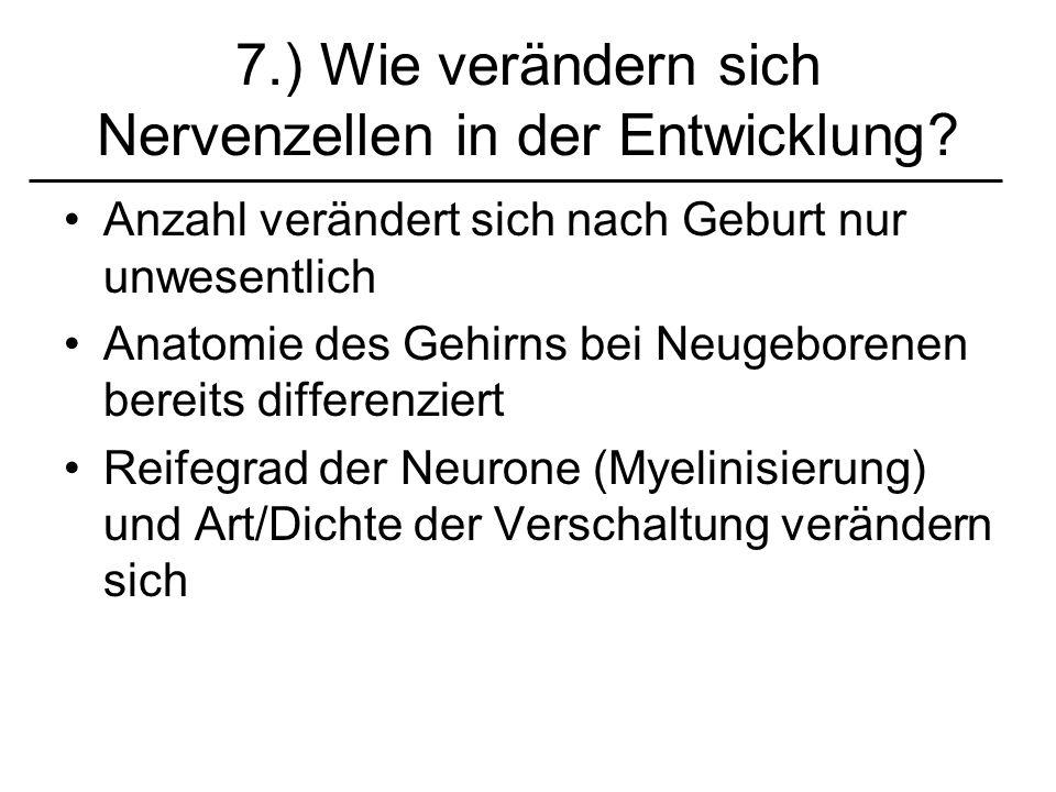 7.) Wie verändern sich Nervenzellen in der Entwicklung? Anzahl verändert sich nach Geburt nur unwesentlich Anatomie des Gehirns bei Neugeborenen berei