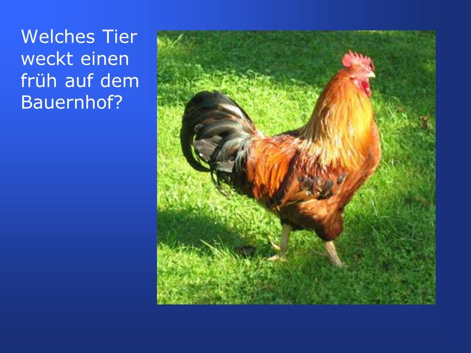 auf dem Land sind beide Begriffe, Hahn und Gockel bekannt, wobei fast ausschließlich Gockel verwendet wird in der Stadt wird nur das hochdeutsche Wort Hahn gebraucht