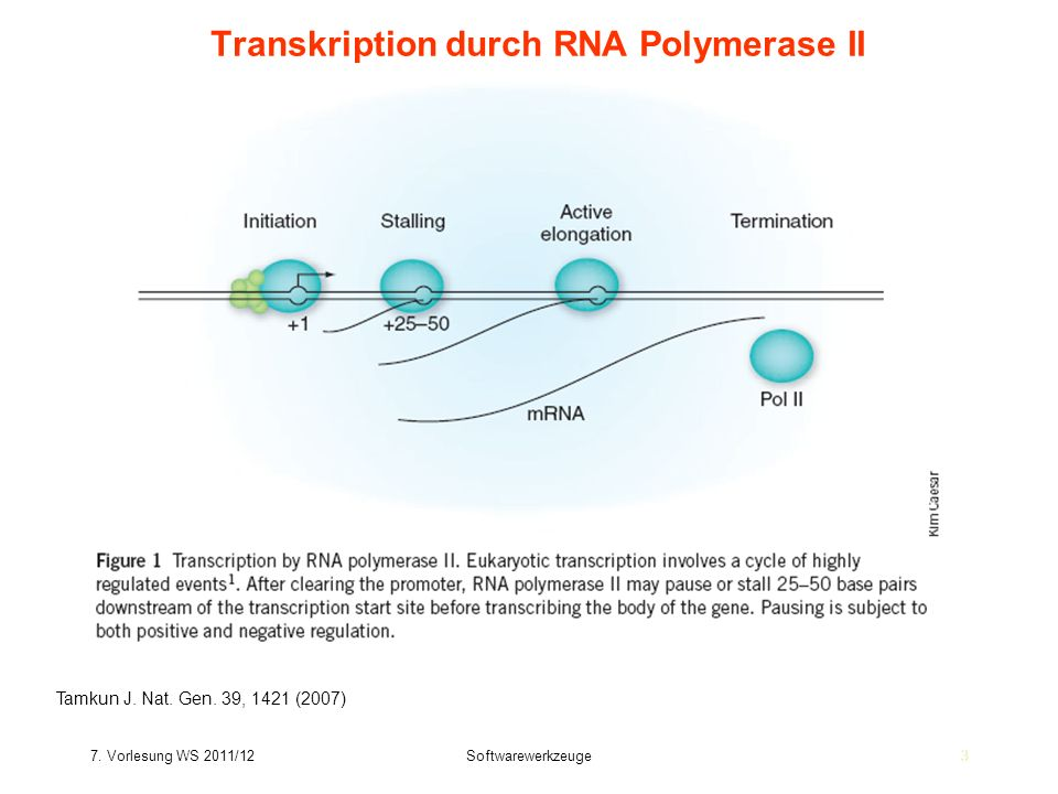 7. Vorlesung WS 2011/12Softwarewerkzeuge33 Transkription durch RNA Polymerase II Tamkun J. Nat. Gen. 39, 1421 (2007)