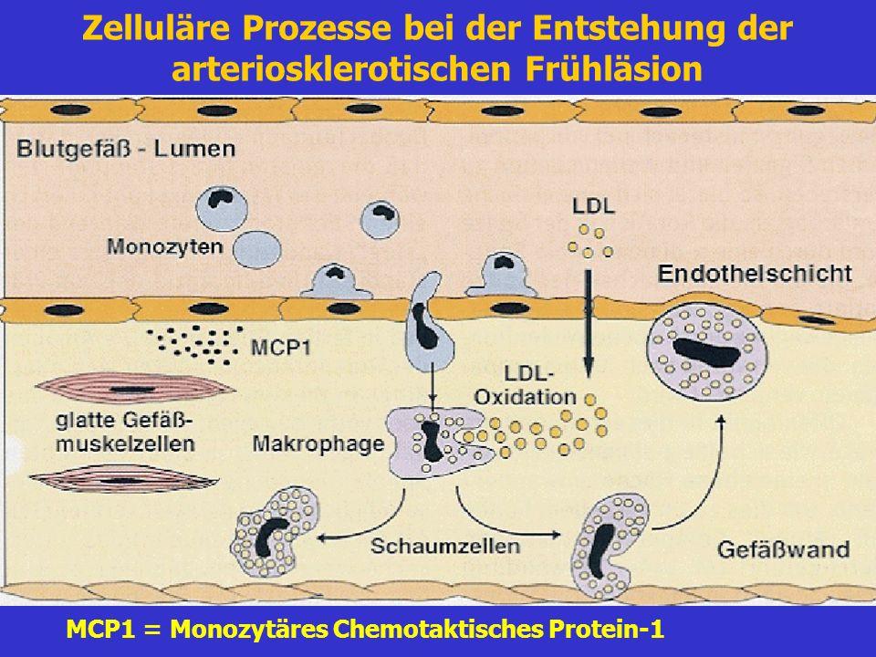 Zelluläre Prozesse bei der Entstehung der arteriosklerotischen Frühläsion MCP1 = Monozytäres Chemotaktisches Protein-1