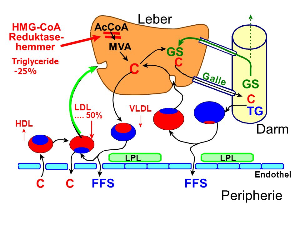 C C TG MVA C GS FFS CC LPL Endothel Peripherie Leber Darm HMG-CoA Reduktase- hemmer LDL....