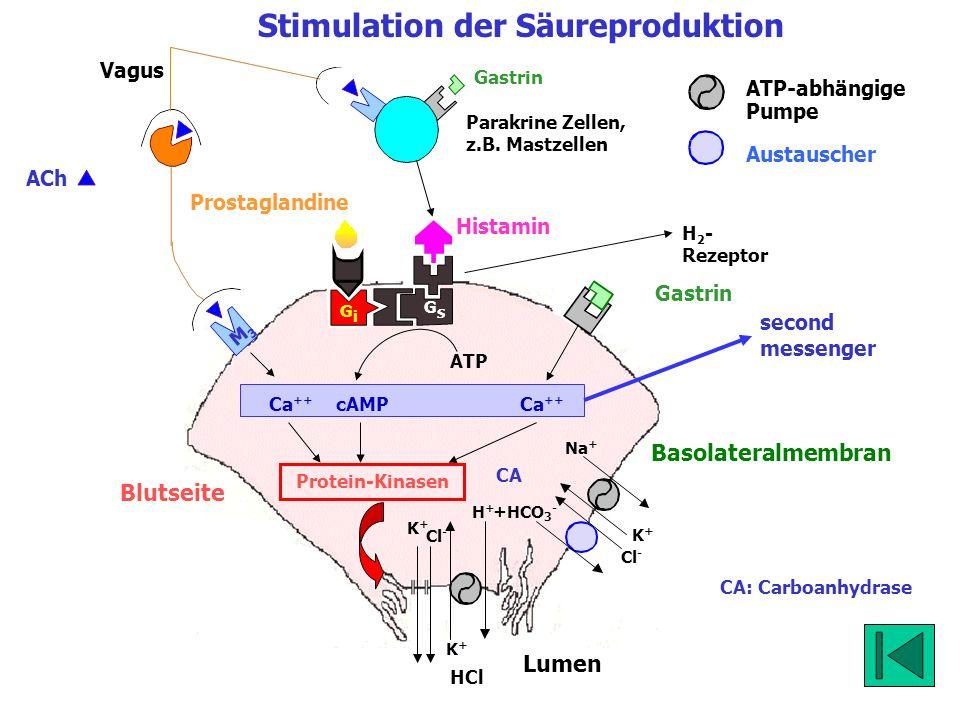 Blutseite Lumen K+K+ Cl - HCl K+K+ Na + K+K+ H+H+ Cl - +HCO 3 - Stimulation der Säureproduktion Basolateralmembran ATP-abhängige Pumpe Austauscher CA: