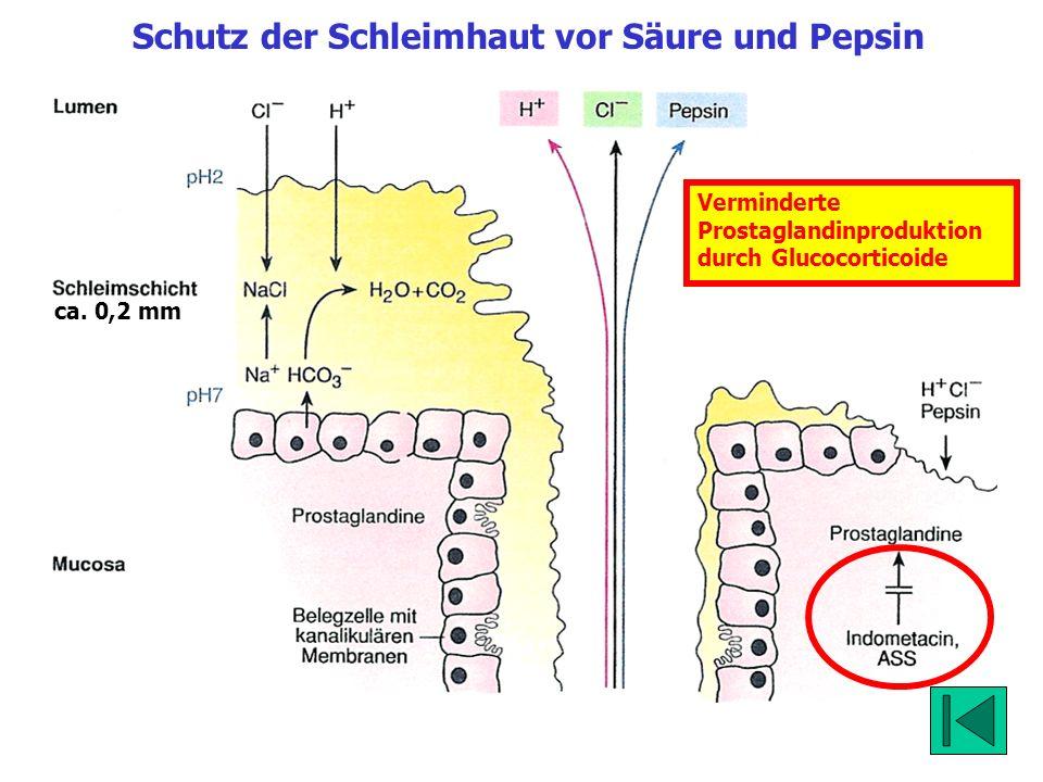 ca. 0,2 mm Schutz der Schleimhaut vor Säure und Pepsin Verminderte Prostaglandinproduktion durch Glucocorticoide