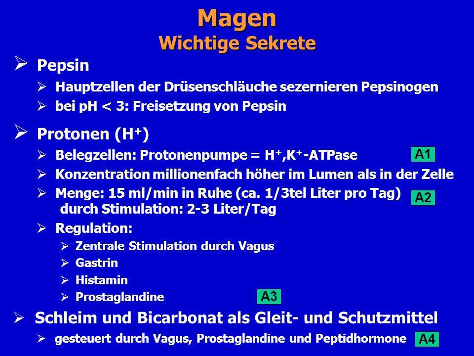 Pepsin Hauptzellen der Drüsenschläuche sezernieren Pepsinogen bei pH < 3: Freisetzung von Pepsin Protonen (H + ) Belegzellen: Protonenpumpe = H +,K +