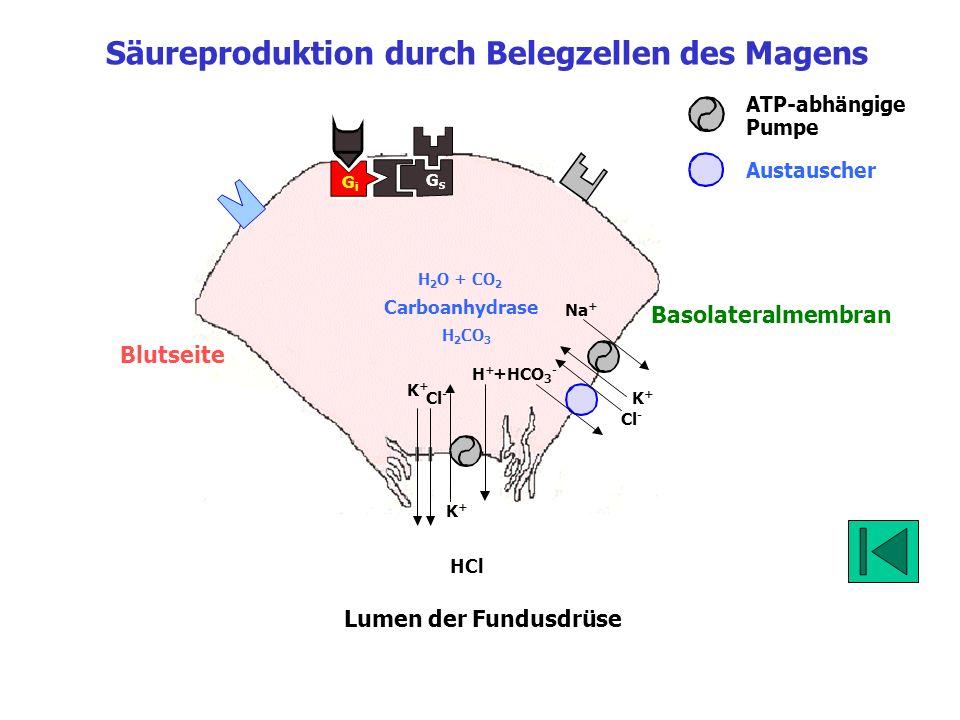 Blutseite Lumen K+K+ Cl - HCl K+K+ Na + K+K+ H+H+ Cl - +HCO 3 - Hemmung der H +, K + -ATPase (PPI = Proton Pump Inhibitor) GsGs GiGi CA Vagus Gastrin M3M3 Protein-Kinasen ATP Ca ++ cAMP Parakrine Zellen, z.B.