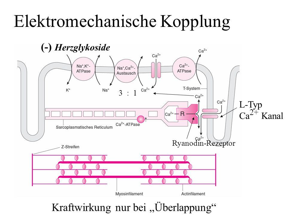 Elektromechanische Kopplung (-) Herzglykoside 3 : 1 L-Typ Ca 2+ Kanal Ryanodin-Rezeptor Kraftwirkung nur bei Überlappung