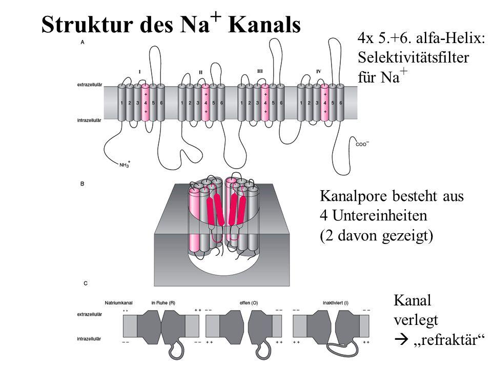 Kanal verlegt refraktär Struktur des Na + Kanals Kanalpore besteht aus 4 Untereinheiten (2 davon gezeigt) 4x 5.+6. alfa-Helix: Selektivitätsfilter für