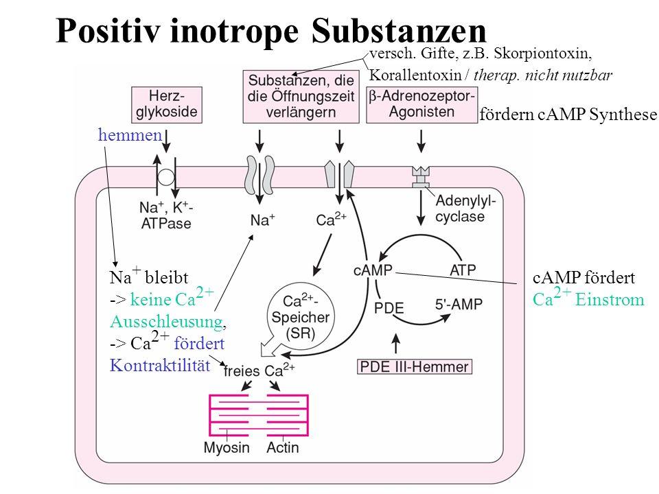 Positiv inotrope Substanzen hemmen Na + bleibt -> keine Ca 2+ Ausschleusung, -> Ca 2+ fördert Kontraktilität cAMP fördert Ca 2+ Einstrom versch. Gifte