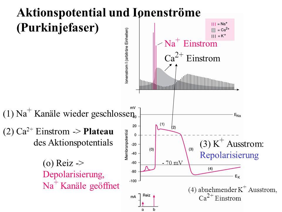 Aktionspotential und Ionenströme (Purkinjefaser) Na + Einstrom (3) K + Ausstrom: Repolarisierung - 70 mV (o) Reiz -> Depolarisierung, Na + Kanäle geöf