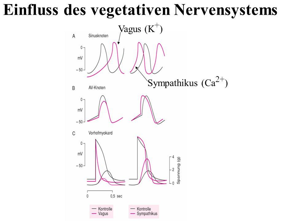Einfluss des vegetativen Nervensystems Vagus (K + ) Sympathikus (Ca 2+ )