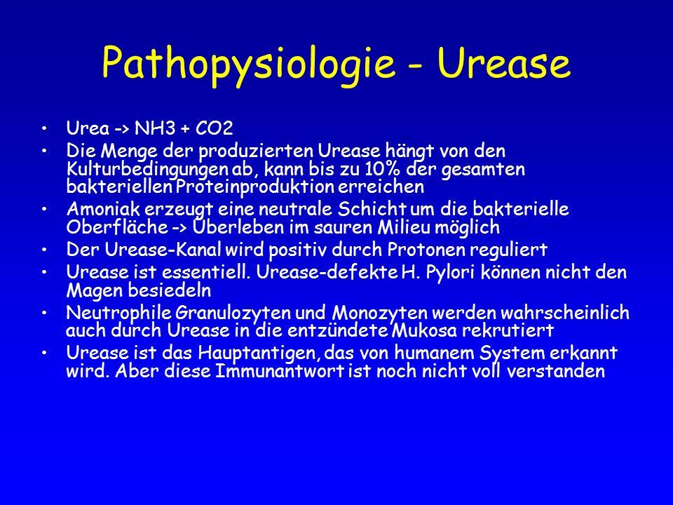 Pathopysiologie - Urease Urea -> NH3 + CO2 Die Menge der produzierten Urease hängt von den Kulturbedingungen ab, kann bis zu 10% der gesamten bakterie