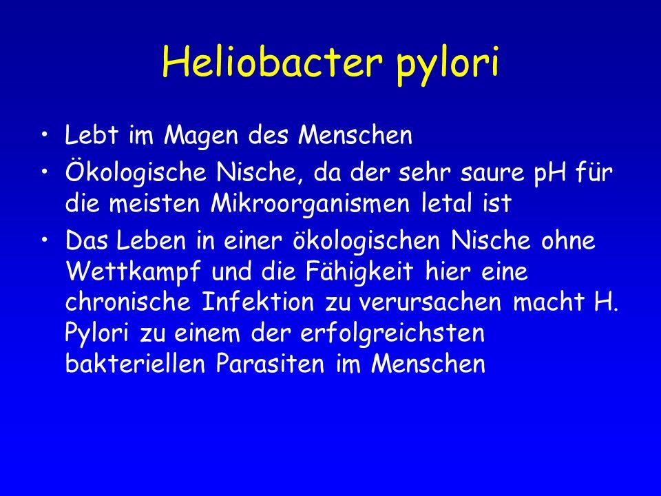 Heliobacter pylori Lebt im Magen des Menschen Ökologische Nische, da der sehr saure pH für die meisten Mikroorganismen letal ist Das Leben in einer ök