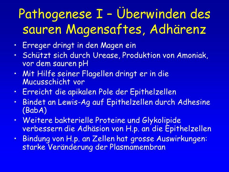 Pathogenese I – Überwinden des sauren Magensaftes, Adhärenz Erreger dringt in den Magen ein Schützt sich durch Urease, Produktion von Amoniak, vor dem