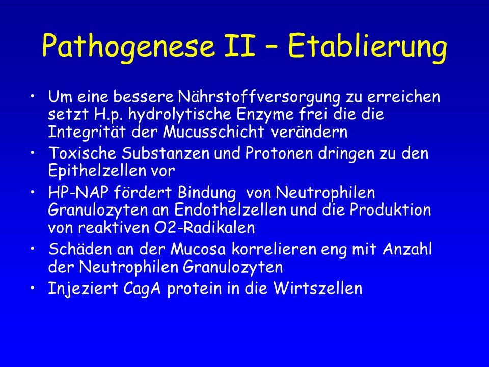 Pathogenese II – Etablierung Um eine bessere Nährstoffversorgung zu erreichen setzt H.p. hydrolytische Enzyme frei die die Integrität der Mucusschicht