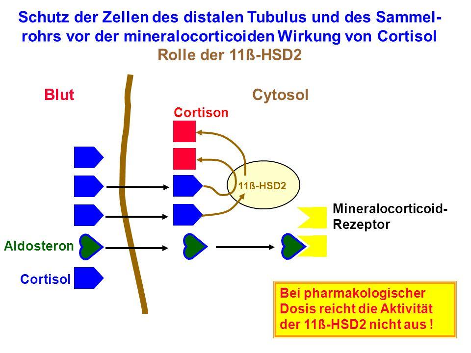 Cortisol Aldosteron Mineralocorticoid- Rezeptor BlutCytosol Schutz der Zellen des distalen Tubulus und des Sammel- rohrs vor der mineralocorticoiden W
