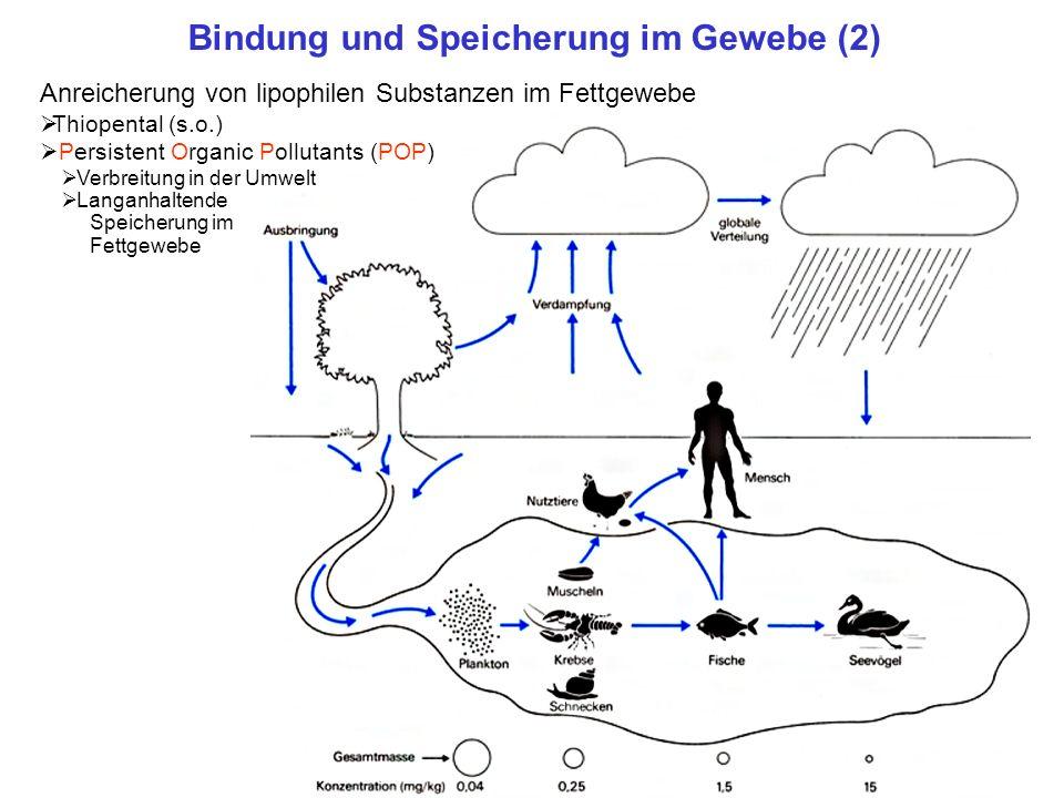 Bindung und Speicherung im Gewebe (2) Anreicherung von lipophilen Substanzen im Fettgewebe Thiopental (s.o.) Persistent Organic Pollutants (POP) Verbr
