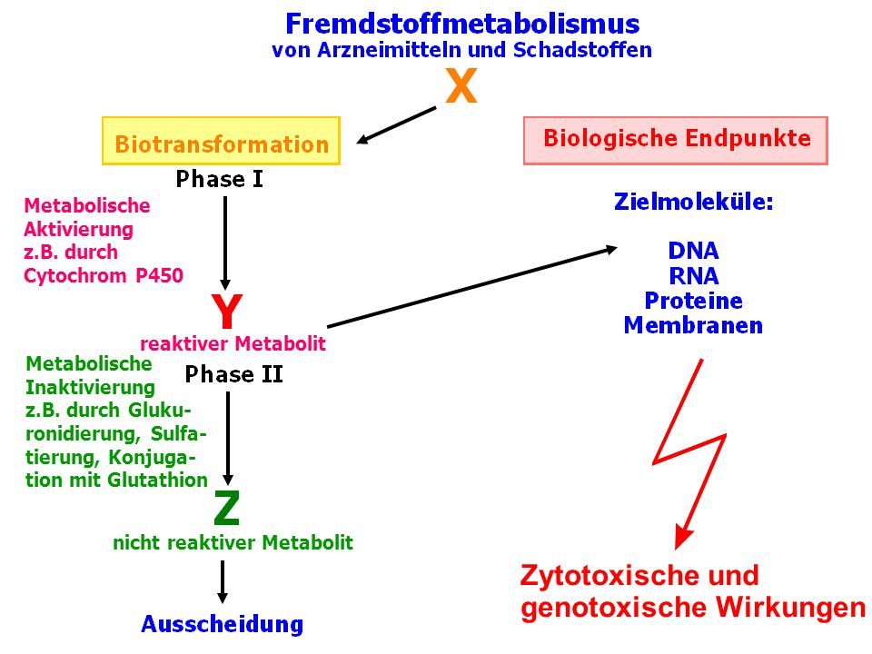 Metabolische Aktivierung z.B. durch Cytochrom P450 reaktiver Metabolit nicht reaktiver Metabolit Metabolische Inaktivierung z.B. durch Gluku- ronidier
