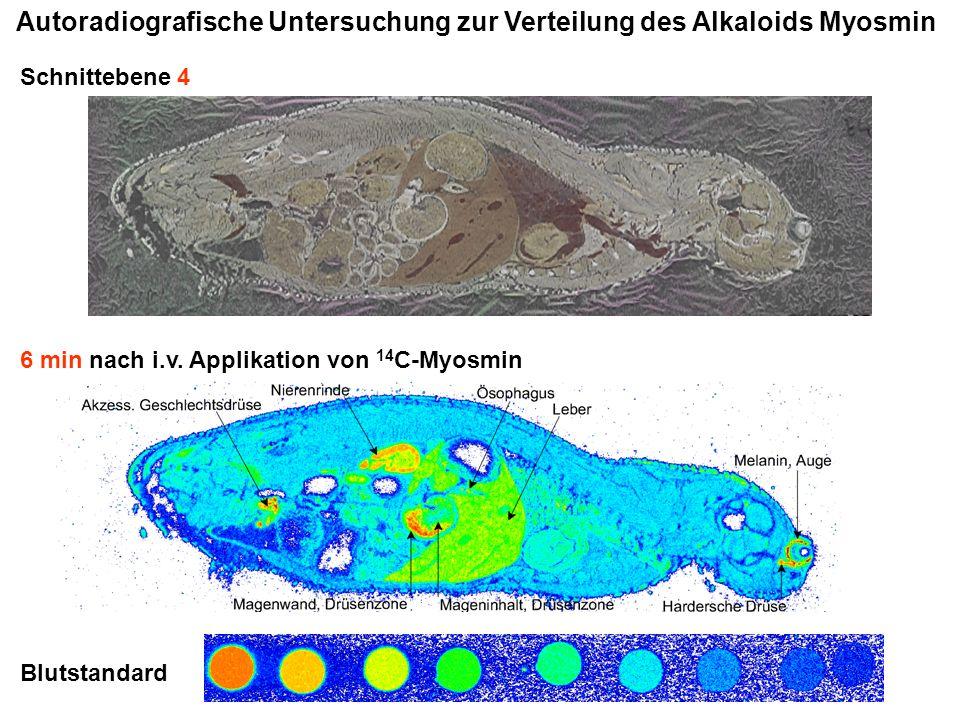 Autoradiografische Untersuchung zur Verteilung des Alkaloids Myosmin Schnittebene 4 Blutstandard 6 min nach i.v. Applikation von 14 C-Myosmin