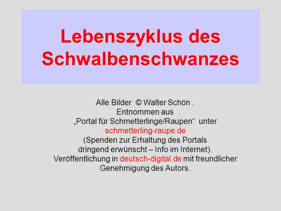 Lebenszyklus des Schwalbenschwanzes Alle Bilder © Walter Schön. Entnommen aus Portal für Schmetterlinge/Raupen unter schmetterling-raupe.de (Spenden z