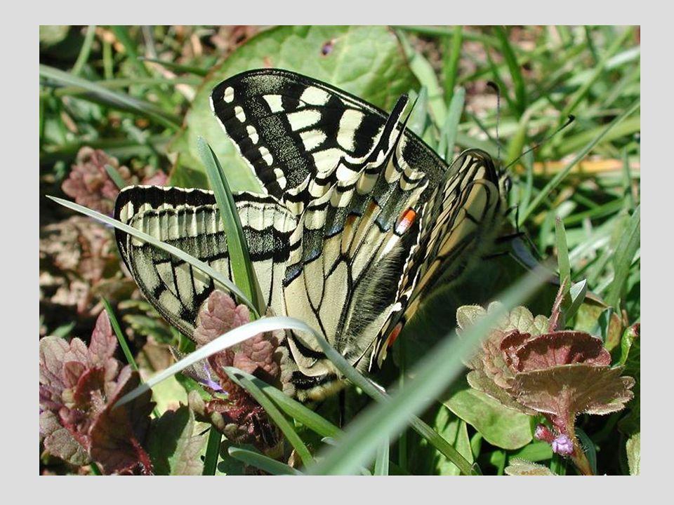 Zum nächsten Bild: Nach der vollständigen Entfaltung der Flügel dauert es noch 1-2 Stunden, bis diese so ausgehärtet sind, dass der Schmetterling fliegen kann.