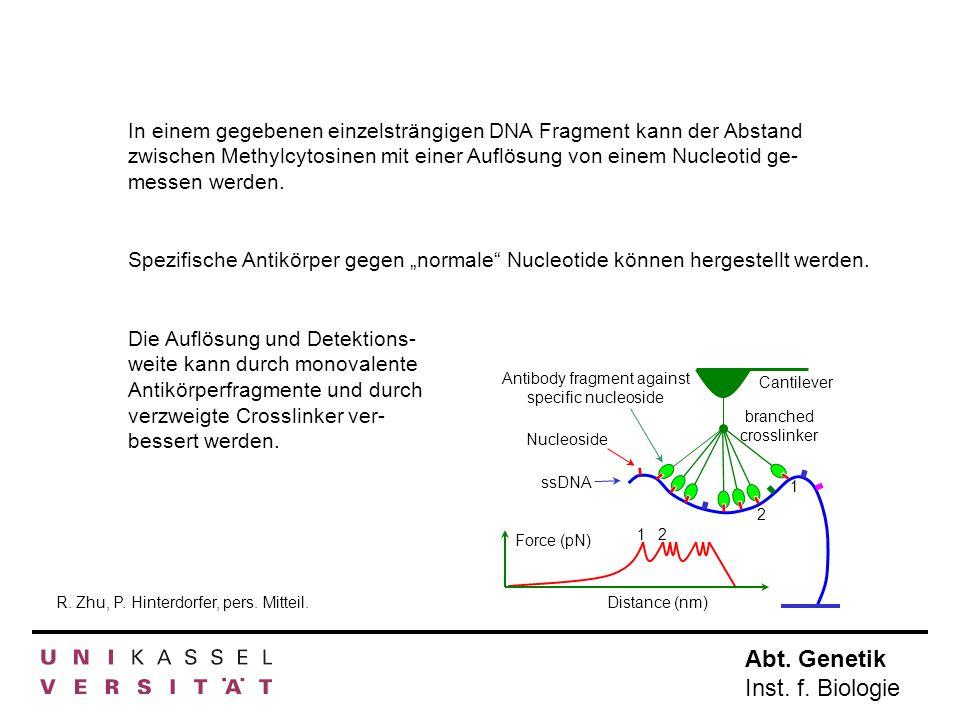 Abt. Genetik Inst. f. Biologie In einem gegebenen einzelsträngigen DNA Fragment kann der Abstand zwischen Methylcytosinen mit einer Auflösung von eine