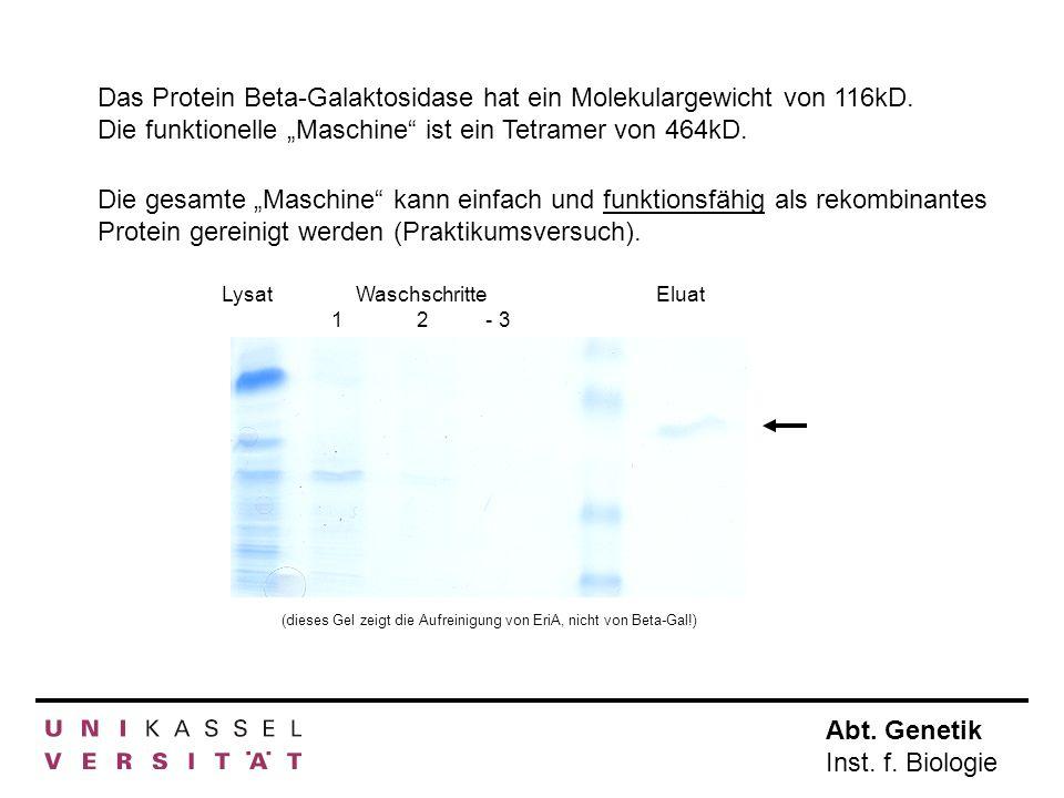 Abt. Genetik Inst. f. Biologie Das Protein Beta-Galaktosidase hat ein Molekulargewicht von 116kD. Die funktionelle Maschine ist ein Tetramer von 464kD