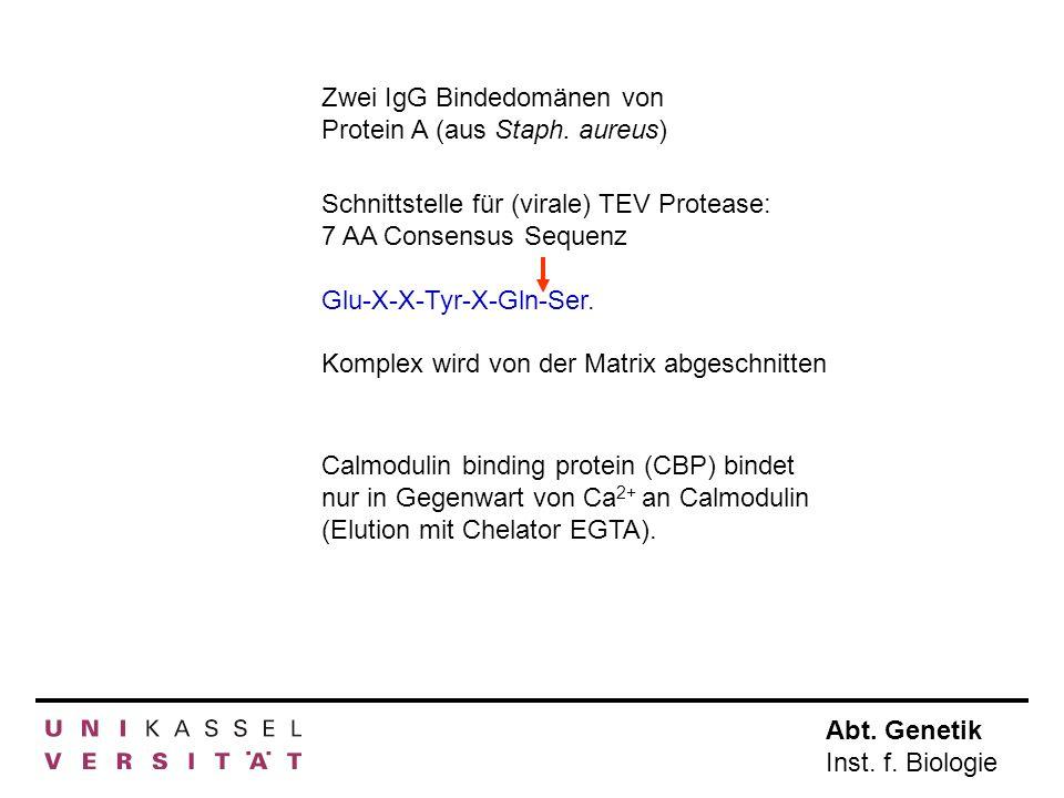 Abt. Genetik Inst. f. Biologie Zwei IgG Bindedomänen von Protein A (aus Staph. aureus) Calmodulin binding protein (CBP) bindet nur in Gegenwart von Ca
