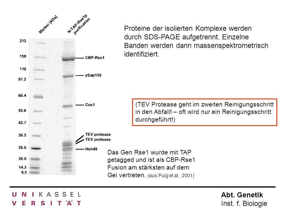Abt. Genetik Inst. f. Biologie Das Gen Rse1 wurde mit TAP getagged und ist als CBP-Rse1 Fusion am stärksten auf dem Gel vertreten. (aus Puig et al., 2