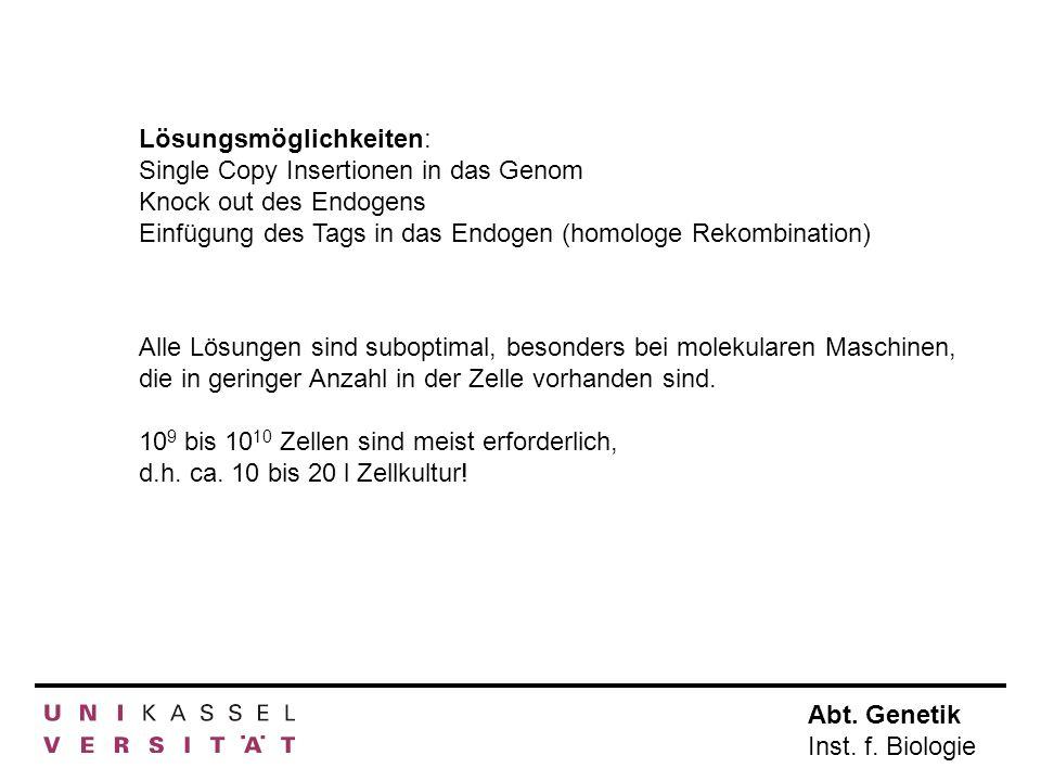 Abt. Genetik Inst. f. Biologie Lösungsmöglichkeiten: Single Copy Insertionen in das Genom Knock out des Endogens Einfügung des Tags in das Endogen (ho