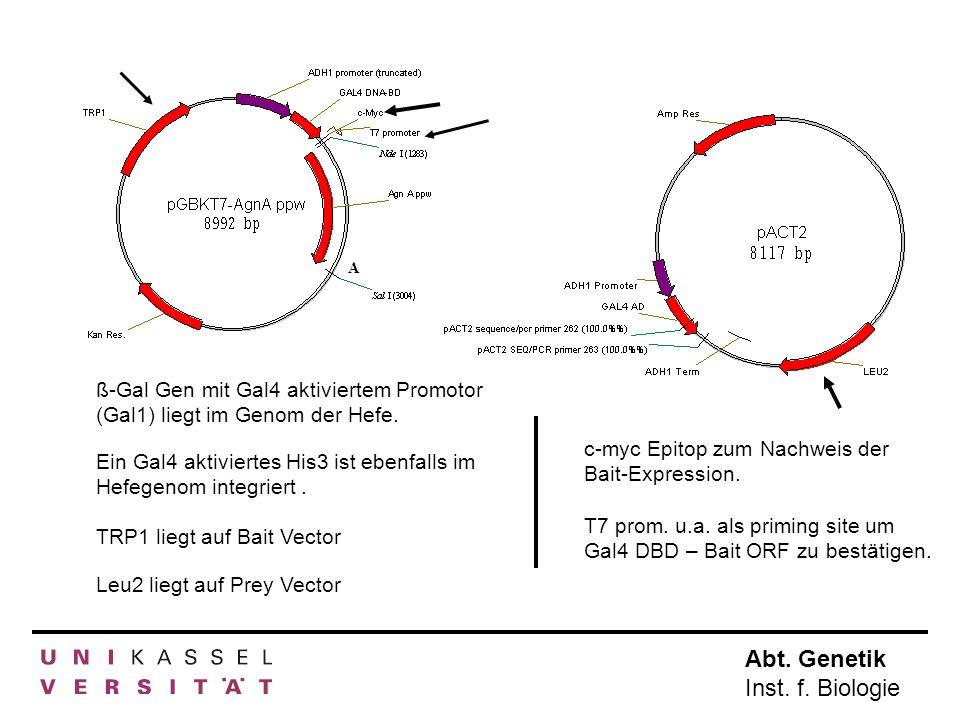 Abt. Genetik Inst. f. Biologie A ß-Gal Gen mit Gal4 aktiviertem Promotor (Gal1) liegt im Genom der Hefe. Ein Gal4 aktiviertes His3 ist ebenfalls im He
