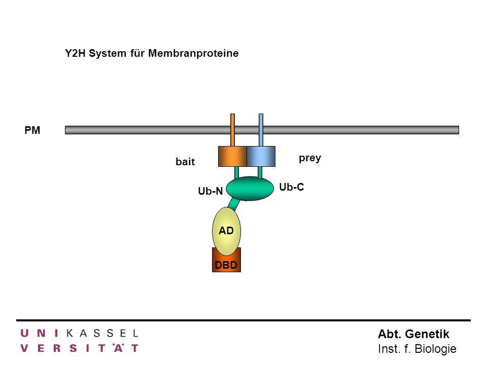 Abt. Genetik Inst. f. Biologie Y2H System für Membranproteine PM AD DBD bait Ub-N prey Ub-C