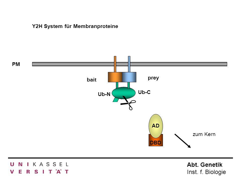 Abt. Genetik Inst. f. Biologie Y2H System für Membranproteine PM AD DBD bait Ub-N prey Ub-C AD DBD zum Kern