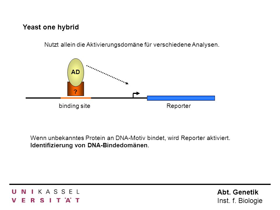 Abt. Genetik Inst. f. Biologie Yeast one hybrid Nutzt allein die Aktivierungsdomäne für verschiedene Analysen. Wenn unbekanntes Protein an DNA-Motiv b