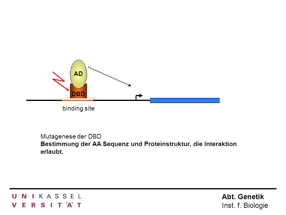 Abt. Genetik Inst. f. Biologie AD DBD binding site Mutagenese der DBD Bestimmung der AA Sequenz und Proteinstruktur, die Interaktion erlaubt.