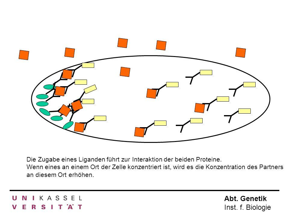Abt. Genetik Inst. f. Biologie Die Zugabe eines Liganden führt zur Interaktion der beiden Proteine. Wenn eines an einem Ort der Zelle konzentriert ist