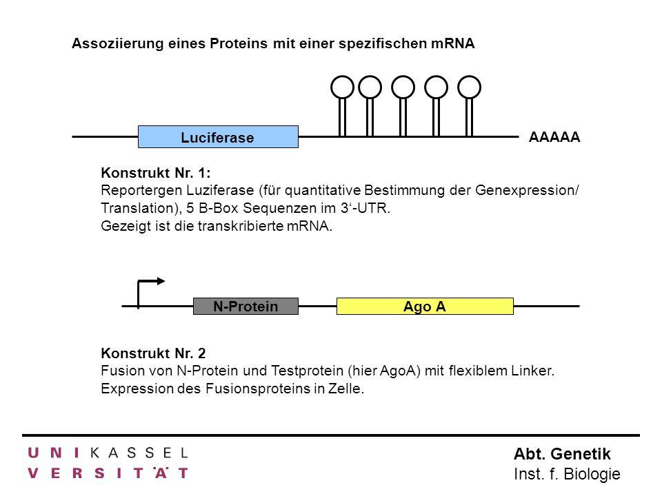 Abt. Genetik Inst. f. Biologie Konstrukt Nr. 1: Reportergen Luziferase (für quantitative Bestimmung der Genexpression/ Translation), 5 B-Box Sequenzen