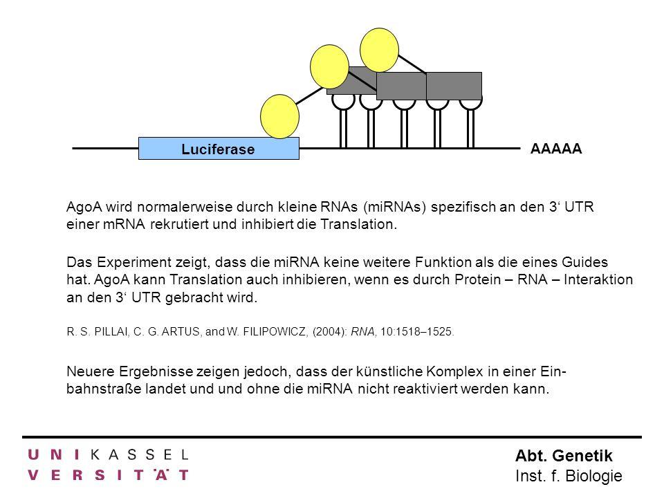 Abt. Genetik Inst. f. Biologie Luciferase AAAAA AgoA wird normalerweise durch kleine RNAs (miRNAs) spezifisch an den 3 UTR einer mRNA rekrutiert und i
