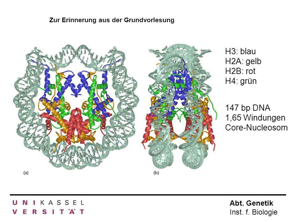 Abt. Genetik Inst. f. Biologie H3: blau H2A: gelb H2B: rot H4: grün 147 bp DNA 1,65 Windungen Core-Nucleosom Zur Erinnerung aus der Grundvorlesung