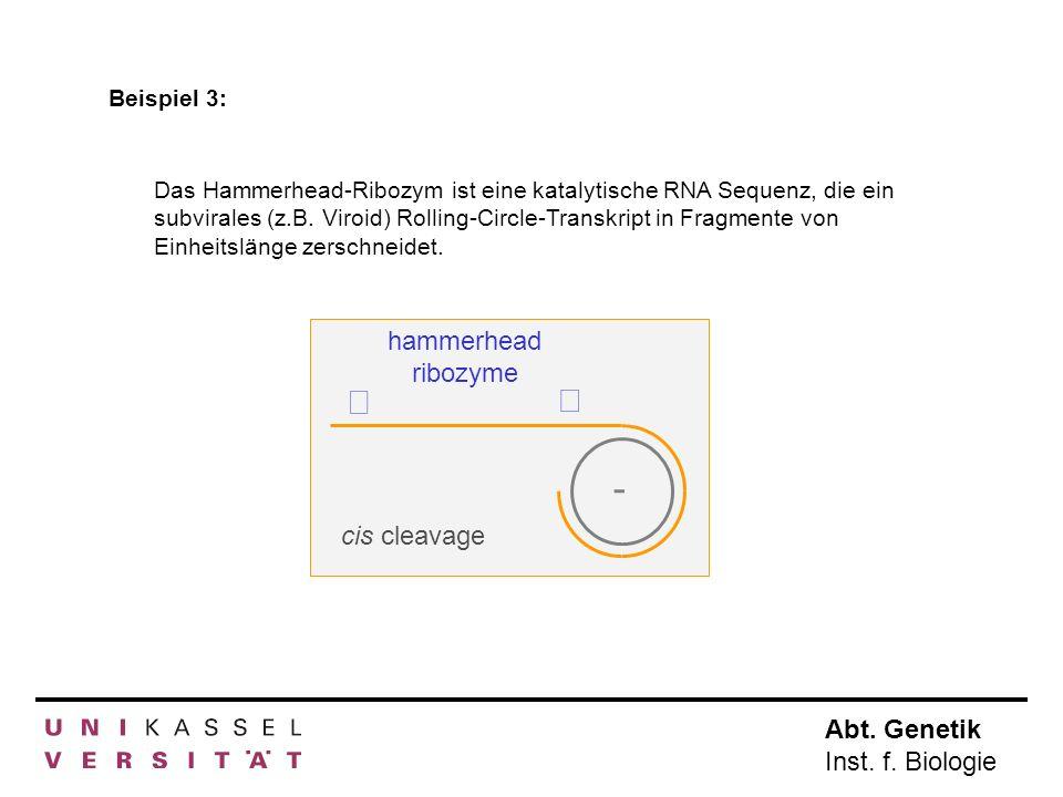 Abt. Genetik Inst. f. Biologie - hammerhead ribozyme cis cleavage Das Hammerhead-Ribozym ist eine katalytische RNA Sequenz, die ein subvirales (z.B. V