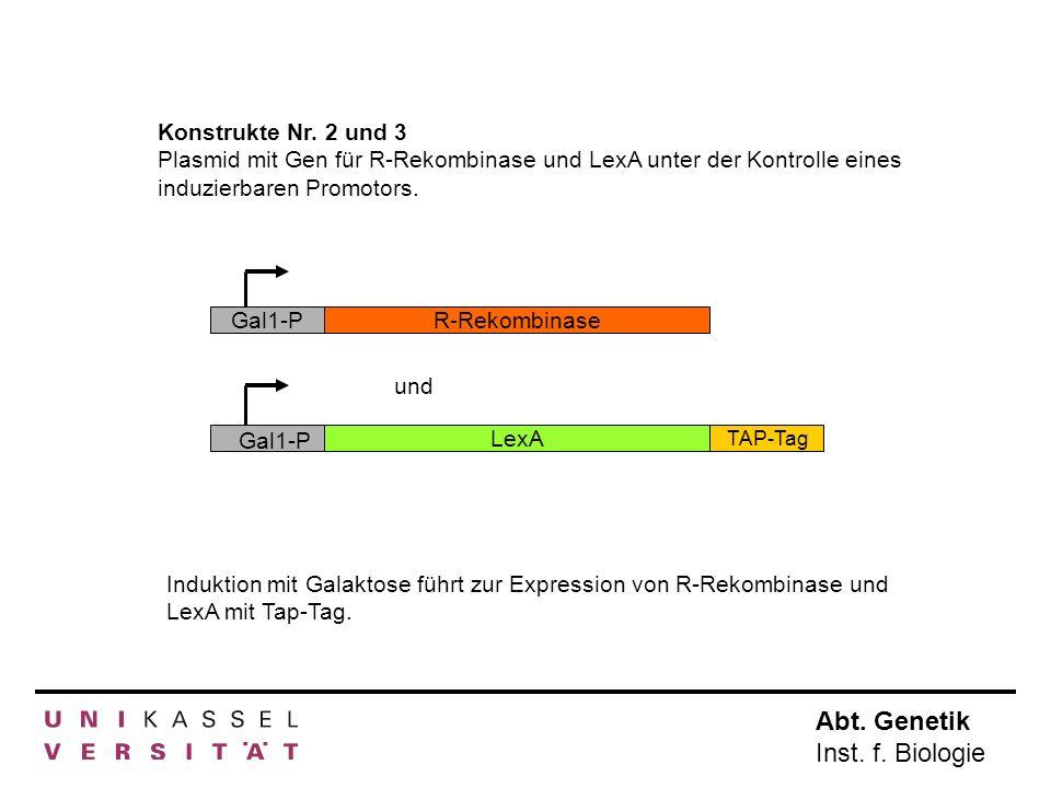 Abt. Genetik Inst. f. Biologie Konstrukte Nr. 2 und 3 Plasmid mit Gen für R-Rekombinase und LexA unter der Kontrolle eines induzierbaren Promotors. In