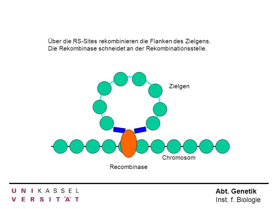 Abt. Genetik Inst. f. Biologie Chromosom Zielgen Recombinase Über die RS-Sites rekombinieren die Flanken des Zielgens. Die Rekombinase schneidet an de