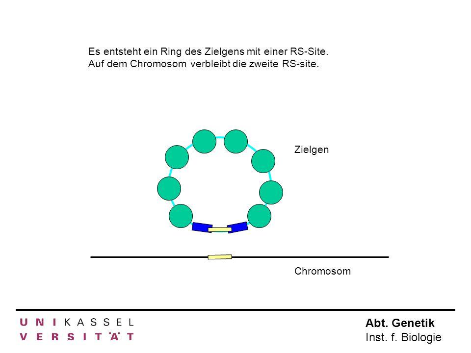 Abt. Genetik Inst. f. Biologie Es entsteht ein Ring des Zielgens mit einer RS-Site. Auf dem Chromosom verbleibt die zweite RS-site. Zielgen Chromosom